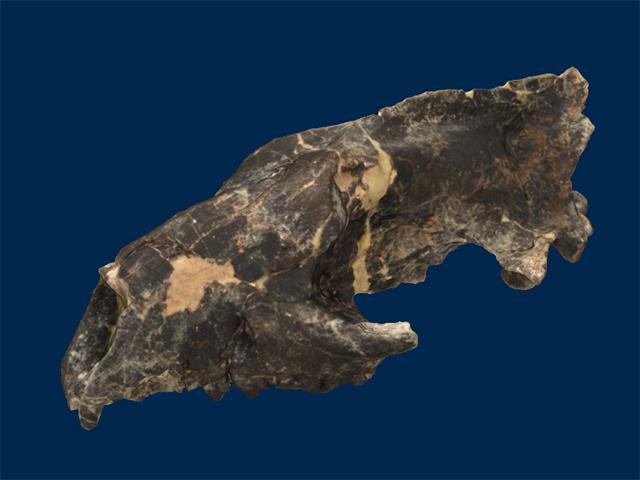 Oxyaenidae