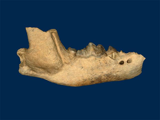 Mustelidae