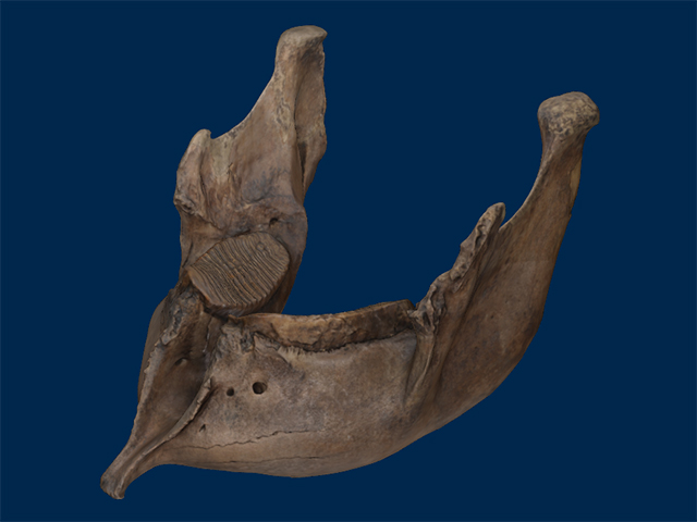 UMMP VP 22798 Mandible