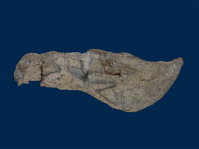 Dicynodontidae