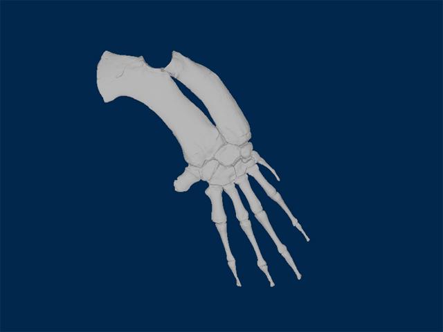 Right forelimb (partial)