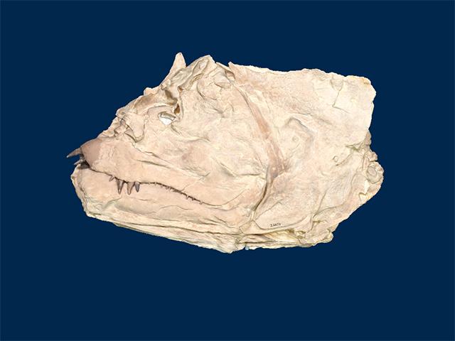 Ichthyodectidae