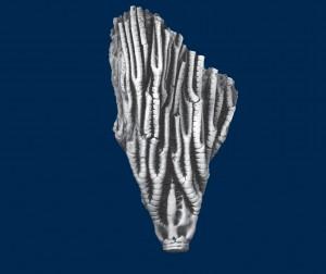 Proctothylacocrinus longus Kier, Holotype - UMMP 27693